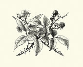 Vintage engraving of Natural history, Flora, Bramble, Flower and Berry