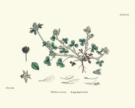 Vintage engraving of  Trifolium scabrum rough clover