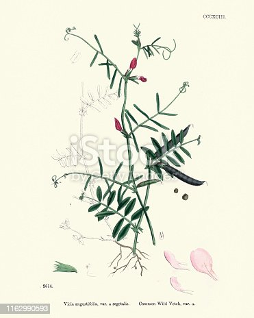 Vintage engraving of Natural History, Flora, Vicia angustifolia, Common wild Vetch. Vicia is a genus of about 140 species of flowering plants that are part of the legume family (Fabaceae), and which are commonly known as vetches.