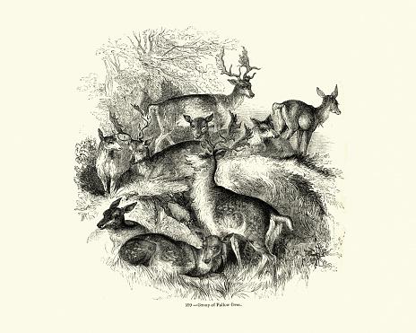 Natural history, Mammals, Herd of Fallow deer