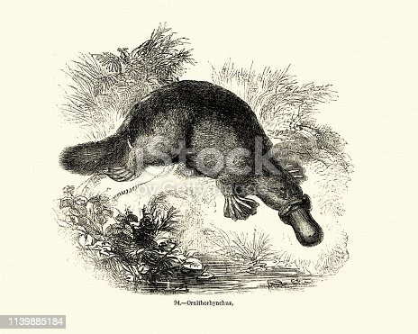Vintage engraving of a platypus (Ornithorhynchus anatinus), sometimes referred to as the duck-billed platypus, is a semiaquatic egg-laying mammal endemic to eastern Australia