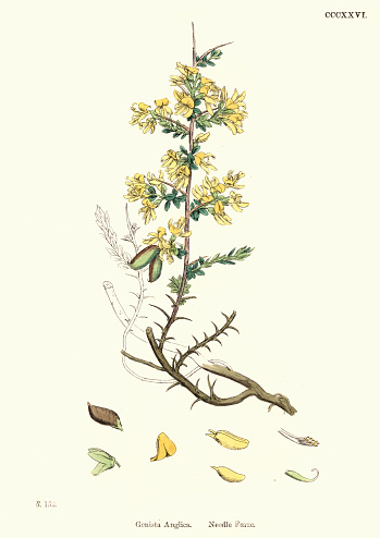 Natural History - Plants - Genista anglica needle furze