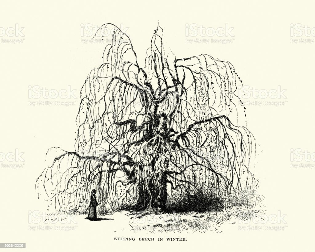 Natural History, Trees, weeping beech, Fagus sylvatica, in winter - Royalty-free 1870-1879 stock illustration