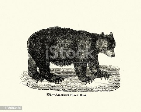 Vintage engraving of a American black bear (Ursus americanus) a medium-sized bear native to North America. It is the continent's smallest and most widely distributed bear species.