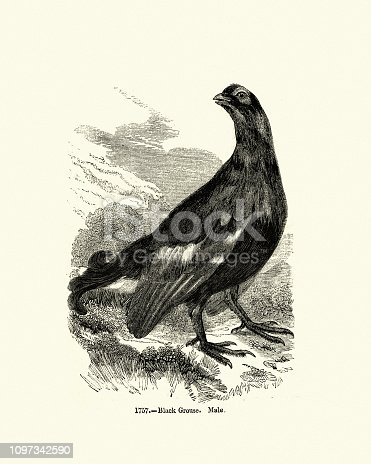 Vintage engraving Black grouse or blackgame or blackcock (Tetrao tetrix) is a large game bird in the grouse family. Pictorial Museum of Animated Nature, 19th Century