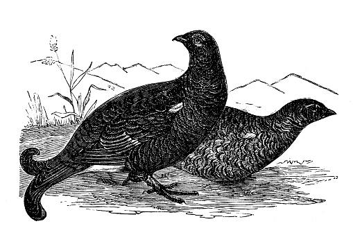 Illustration of a Nature, Birds, Black grouse (Tetrao tetrix)