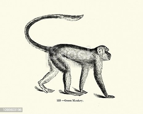 Vintage engraving of green monkey (Chlorocebus sabaeus). also known as the sabaeus monkey or the callithrix monkey, is an Old World monkey. Pictorial Museum of Animated Nature