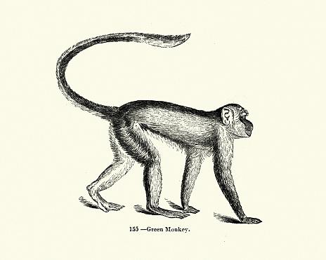 Nature, Mammals, Monkey, green monkey (Chlorocebus sabaeus)