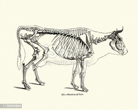 Vintage engraving of Skeletion of a Cow. Pictorial Museum of Animated Nature