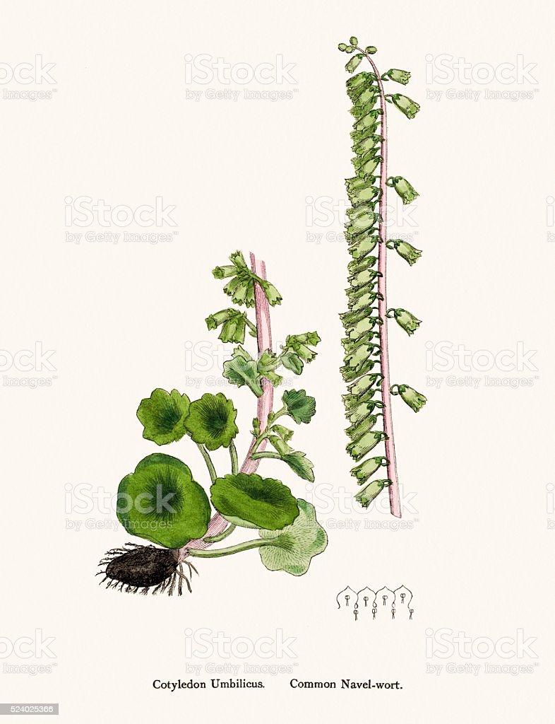 Navelwort plant scientific illustration vector art illustration
