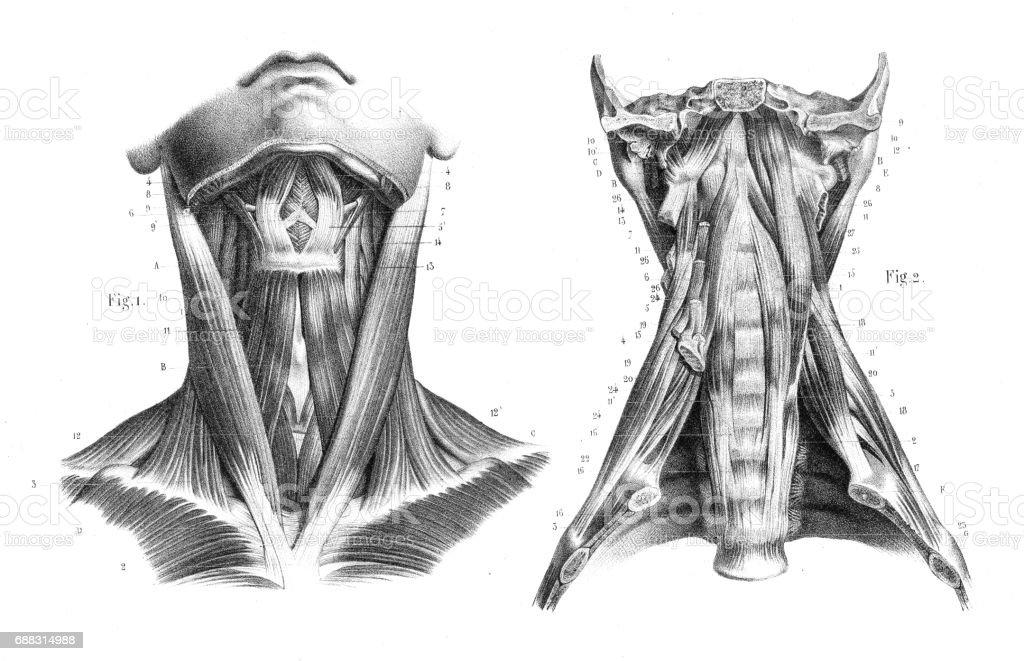 Anatomía De La Garganta Cuello Grabado 1866 Illustracion Libre de ...
