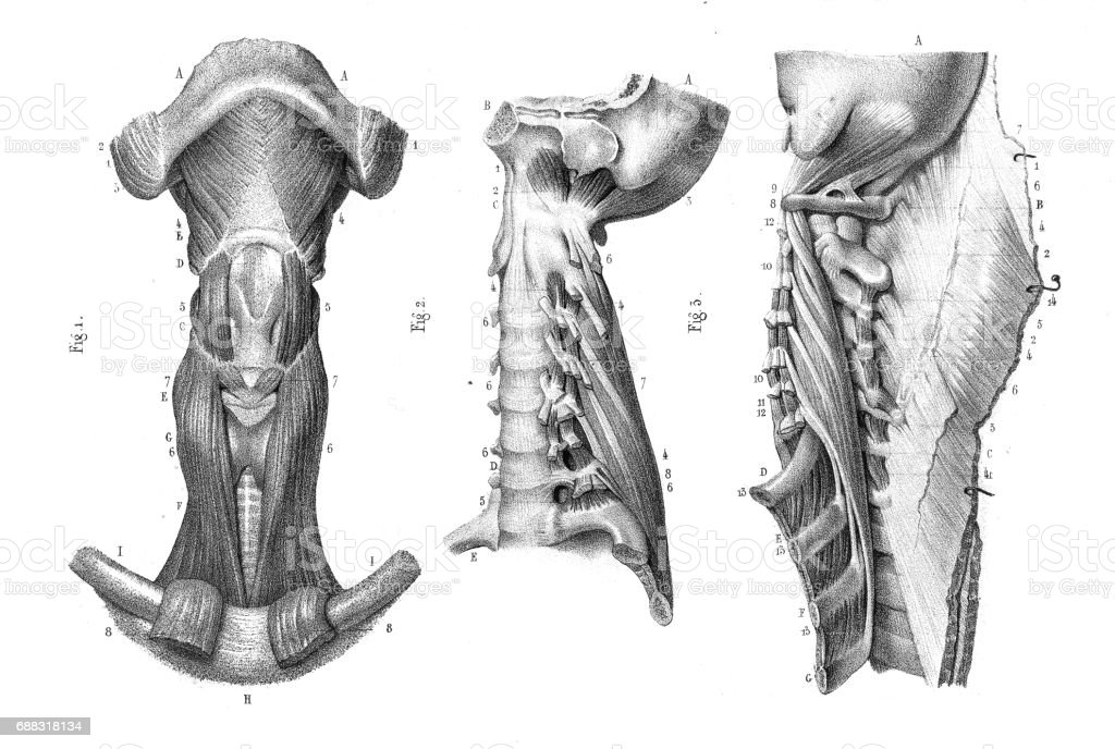 Ilustración de Anatomía De La Vértebra De Cuello Grabado 1866 y más ...