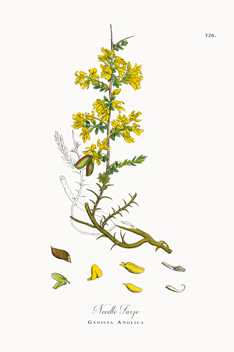 Needle Furze, Genista Anglica, Victorian Botanical Illustration, 1863