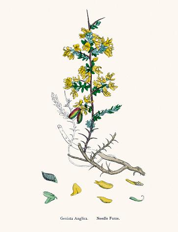 Needle Furze plant 19th century illustration