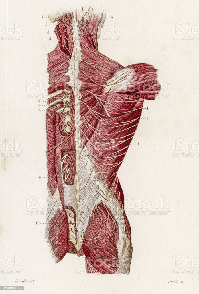 Nerves Of The Back Anatomy Engraving 1886 Stock Vector Art 693968312