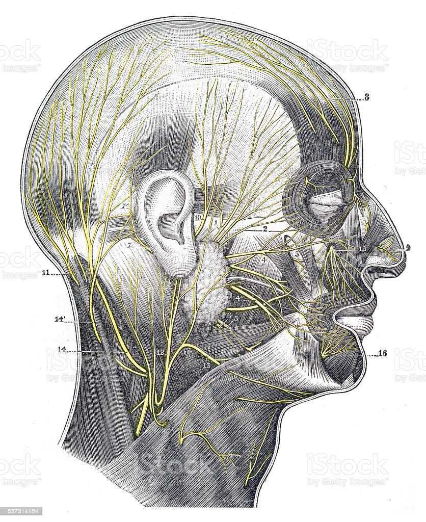 Nerves Of The Cranium And Face Engraving 1894 Stock Vector Art