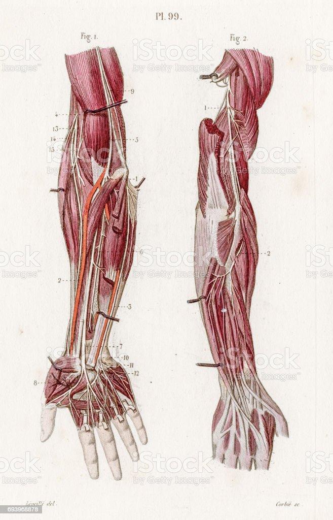 Ilustración de Anatomía De Miembros Superiores Nervios Grabado De ...
