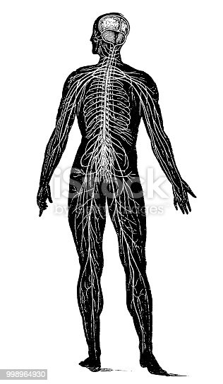 Illustration of a Nervous system
