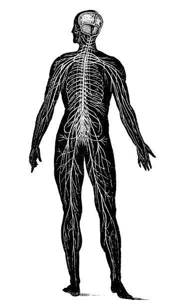 Nervous system Illustration of a Nervous system human nervous system stock illustrations