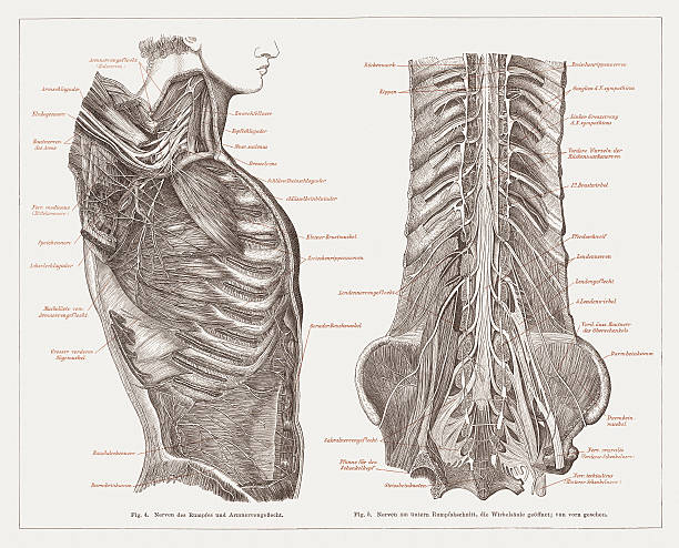 Nervous system of humans, lithograph, published in 1877 The nervous system of humans. Lithograph, published in 1877. sciatic nerve stock illustrations