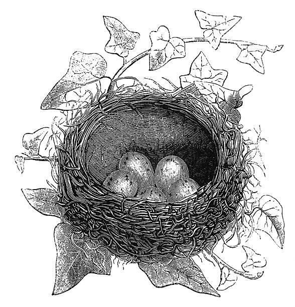 ilustrações de stock, clip art, desenhos animados e ícones de nest de música afta - song thrush