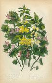 Nettle, Weasel Snout, Nettle, Stinging Nettle, Snapdragon, Victorian Botanical Illustration