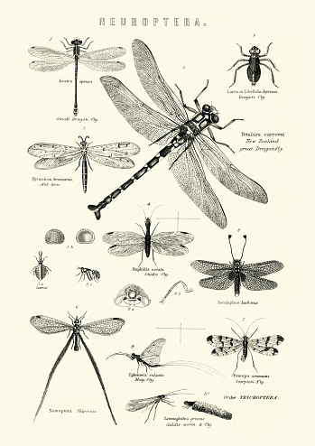 Neuroptera, or net-winged insects, Dragonfly, Snake fly, Scorpion fly