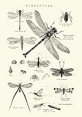 Vintage engraving of Neuroptera, or net-winged insects, Dragonfly, Snake fly, Scorpion fly, May fly