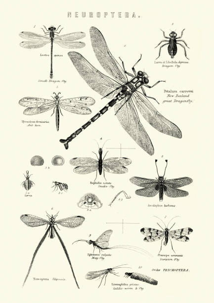 Neuroptera, or net-winged insects, Dragonfly, Snake fly, Scorpion fly vector art illustration