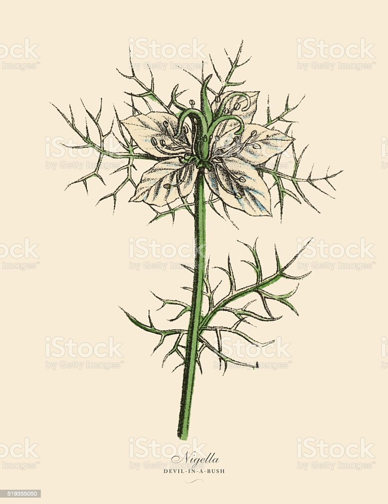 Nigella or Devl-In-A-Bush Plants, Victorian Botanical Illustration vector art illustration