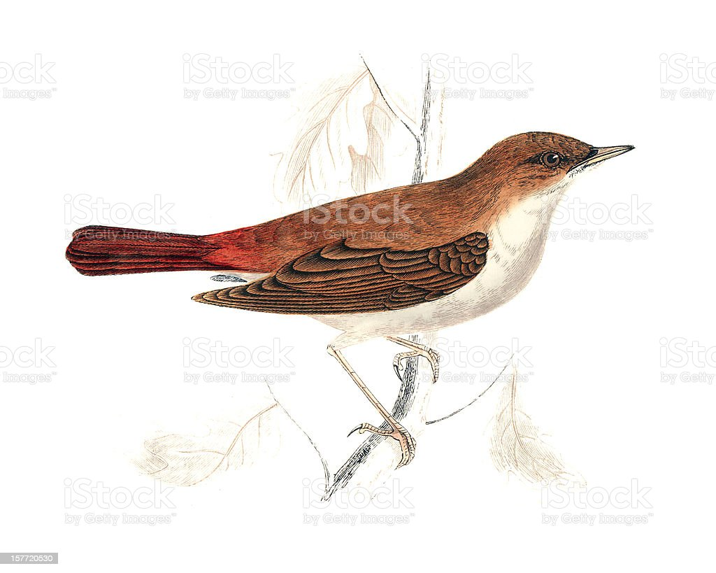 Nightingale - Hand Coloured Engraving royalty-free stock vector art