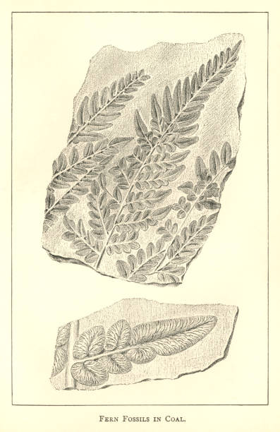 nineteenth century engraving of fern fossils in coal - fossilized leaves stock illustrations