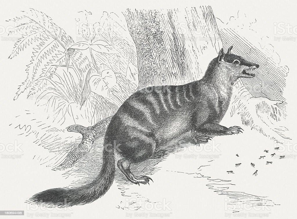 Numbat (Myrmecobius fasciatus), wood engraving, published in 1875 royalty-free stock vector art