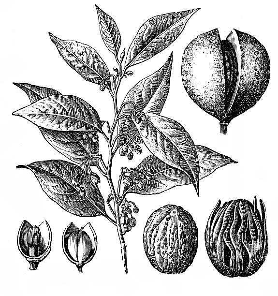 Nutmeg (Myristica fragrans) - ilustración de arte vectorial