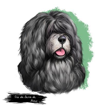 C o da Serra de Aires dog breed isolated on white background digital art illustration. Medium-sized breed of dog of herding type. Cute pet hand drawn portrait. Graphic clipart design realistic animal.