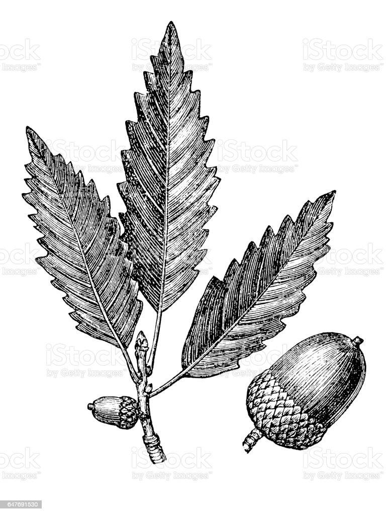 Oak leaf and acorn (quercus prints) vector art illustration