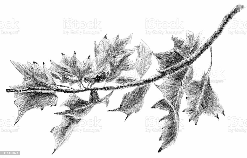 Oak Leaves on a Branch Sketch royalty-free stock vector art