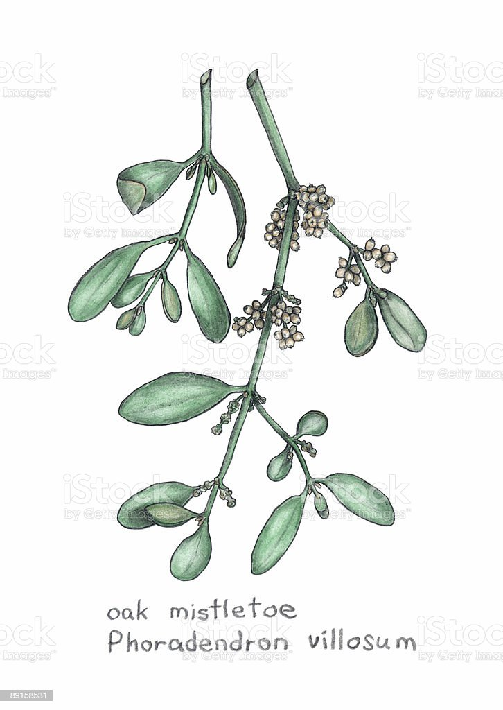 oak mistletoe, Phoradendron villosum, botanical drawing in colored pencil royalty-free stock vector art