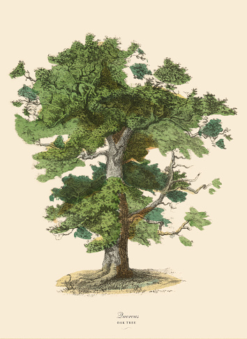 Very Rare, Beautifully Illustrated Antique Engraved Victorian Botanical Illustration of Oak Tree or Quercus: Plate 43, from The Book of Practical Botany in Word and Image (Lehrbuch der praktischen Pflanzenkunde in Wort und Bild), Published in 1886. Copyright has expired on this artwork. Digitally restored.