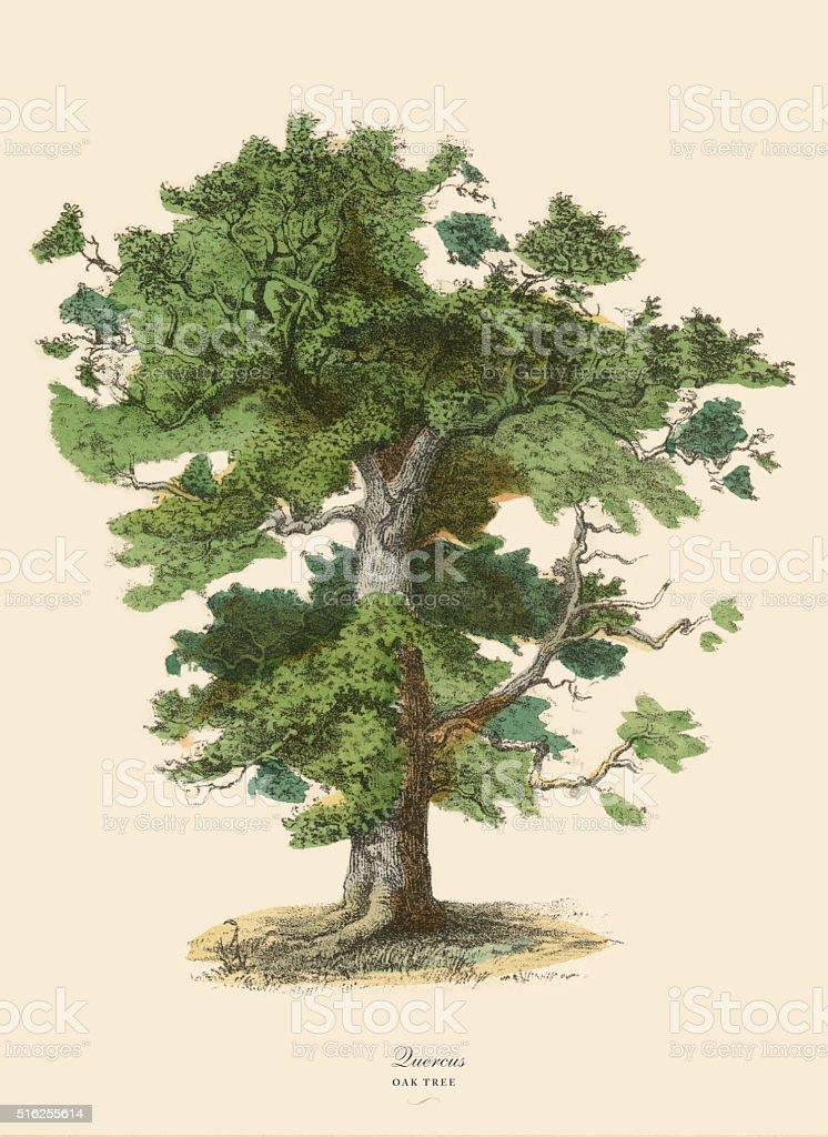 Oak Tree or Quercus, Victorian Botanical Illustration vector art illustration