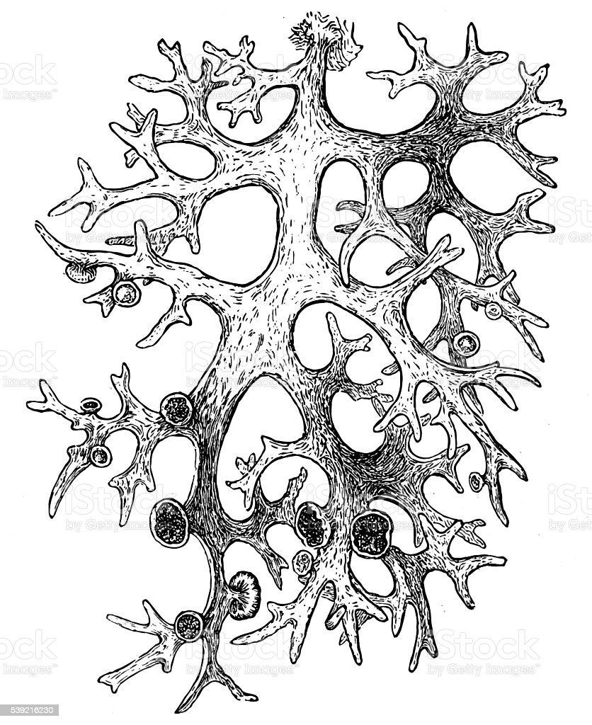 oakmoss (Evernia prunastri) vector art illustration