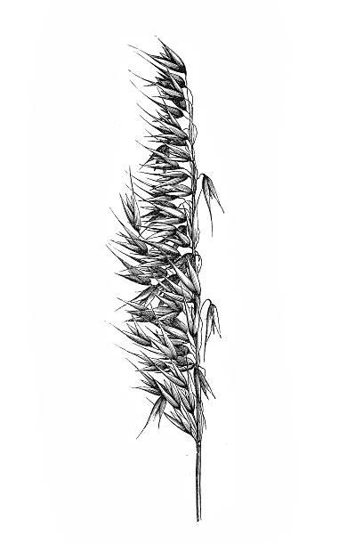 ilustrações de stock, clip art, desenhos animados e ícones de aveia (avena sativa) - ilustrações de oats