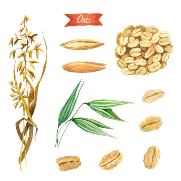 ilustrações de stock, clip art, desenhos animados e ícones de oat plant, seeds and  flakes watercolor illustration - ilustrações de oats