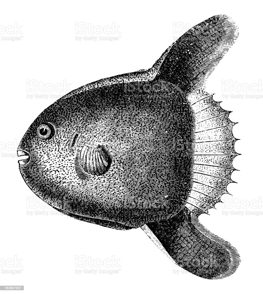 Ocean Sunfish | Antique Animal Illustrations royalty-free ocean sunfish antique animal illustrations stock vector art & more images of 19th century