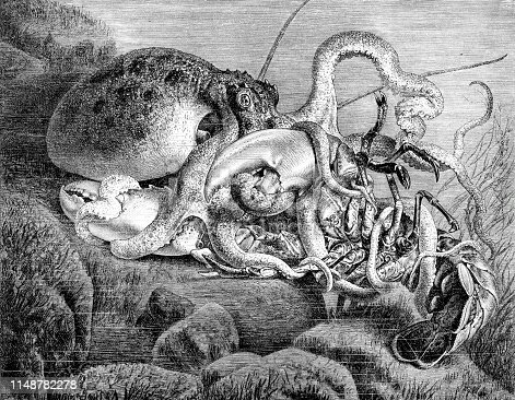 Steel engraving of octopus ( Octopoda ) fighting with American lobster ( Homarus americanus ) Original edition from my own archives Drawing : G. Mützel Source :