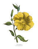 Very Rare, Beautifully Illustrated Antique Engraved Victorian Botanical Illustration of Oenothera or Evening Primrose Plant, Published in 1886. Source: Original edition from my own archives. Copyright has expired on this artwork. Digitally restored.