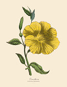 Very Rare, Beautifully Illustrated Antique Engraved Victorian Botanical Illustration of Oenothera or Evening Primrose Plant: Plate 54, from The Book of Practical Botany in Word and Image (Lehrbuch der praktischen Pflanzenkunde in Wort und Bild), Published in 1886. Copyright has expired on this artwork. Digitally restored.