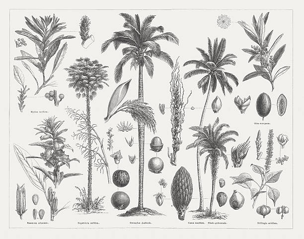 ilustrações de stock, clip art, desenhos animados e ícones de óleos vegetais, publicada em 1877 - oleo palma