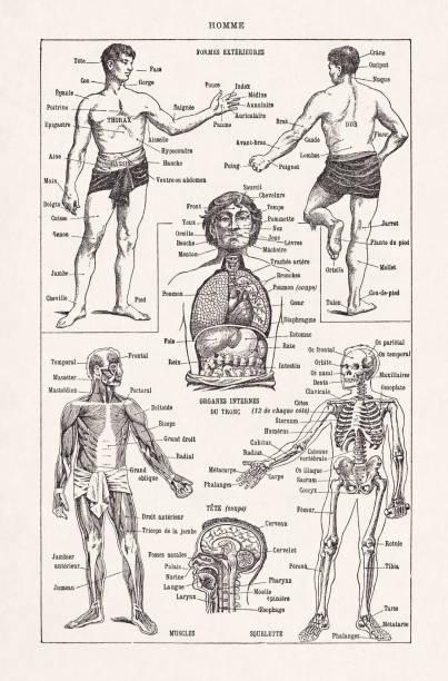Old illustration about the human anatomy vector art illustration