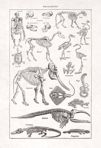Old illustration about the Skeletons vector art illustration